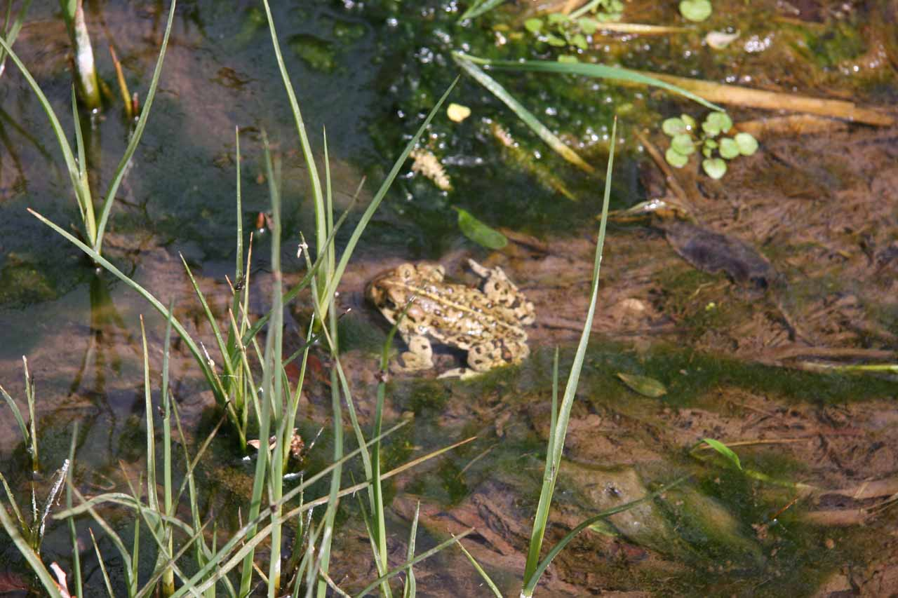 A toad sitting in the stream, which we spotted on our first visit back in 2006