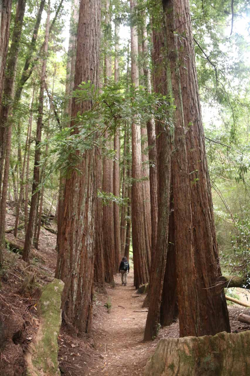 Mom walking between a line of giant coastal redwood trees