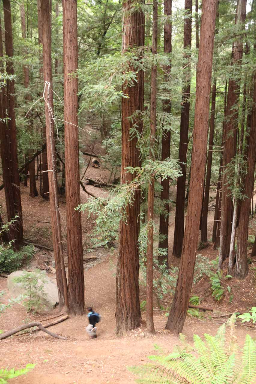 Mom finally back down amongst the base of the giant coastal redwoods on the floor of Baltimore Canyon
