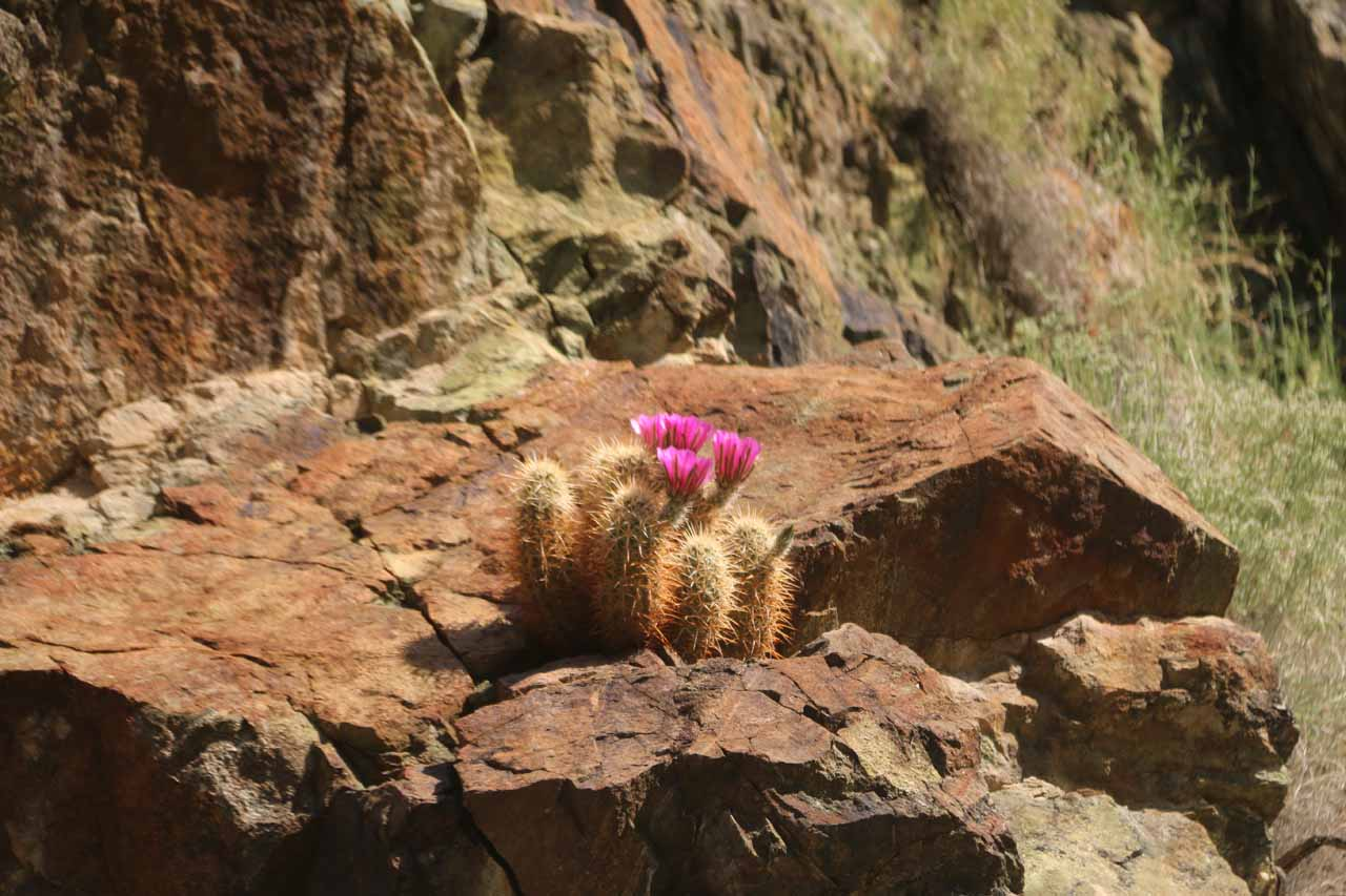 We spotted this unusual wildflower surrounded by prickly cactus on the return hike