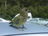 Devils_Punchbowl_Falls_030_11212004 - When we returned to the car park at Arthur's Pass Village, we noticed this cheeky kea trying to rip out the rubber of windshield wipers