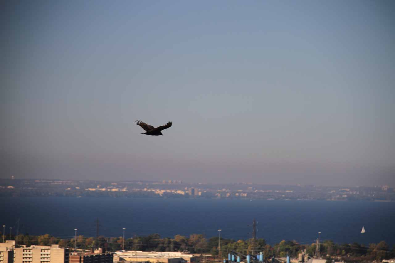 We spotted this eagle or hawk flying above Hamilton with Lake Ontario in the distance