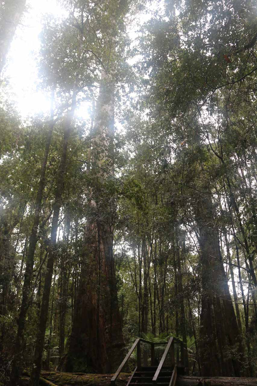 Looking at some other giant eucalyptus trees around the Big Tree