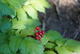 Donut_Falls_023_08092020 - Closeup look at some kind of jelly-bean-looking berry on the way up to the Donut Falls Trailhead along the foot trail