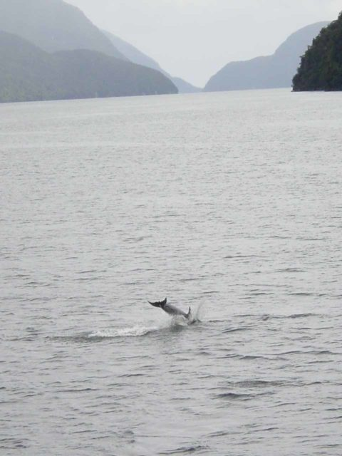 Doubtful_Sound_040_11252004 - Alas, I didn't have a digital SLR camera back in November 2004 so this was the best I could do to capture a dusky dolphin doing a backflip in the Doubtful Sound