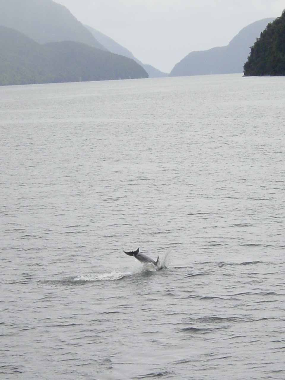 Alas, I didn't have a digital SLR camera back in November 2004 so this was the best I could do to capture a dusky dolphin doing a backflip in the Doubtful Sound
