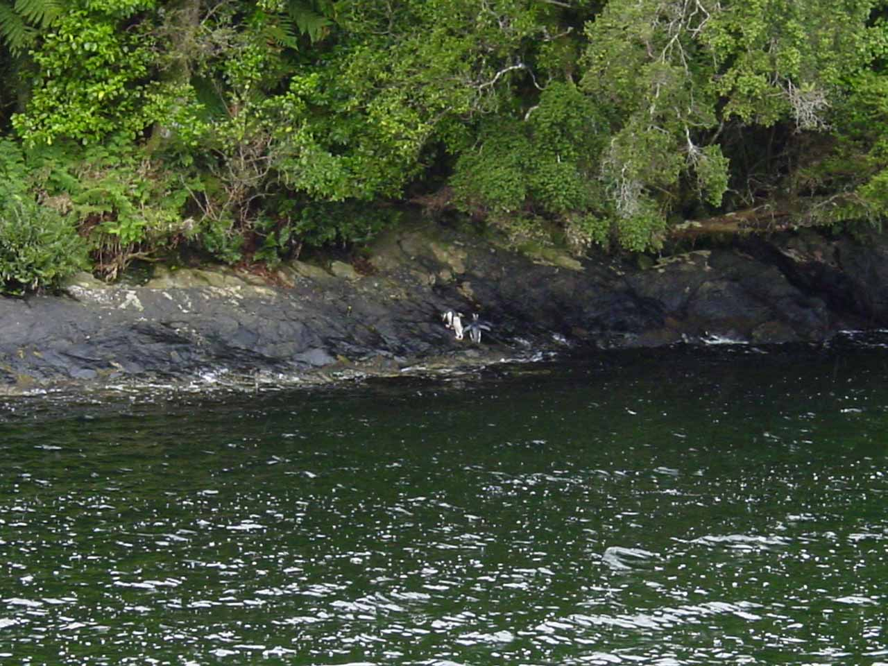 Looking at a trio of Fiordland Crested Penguins