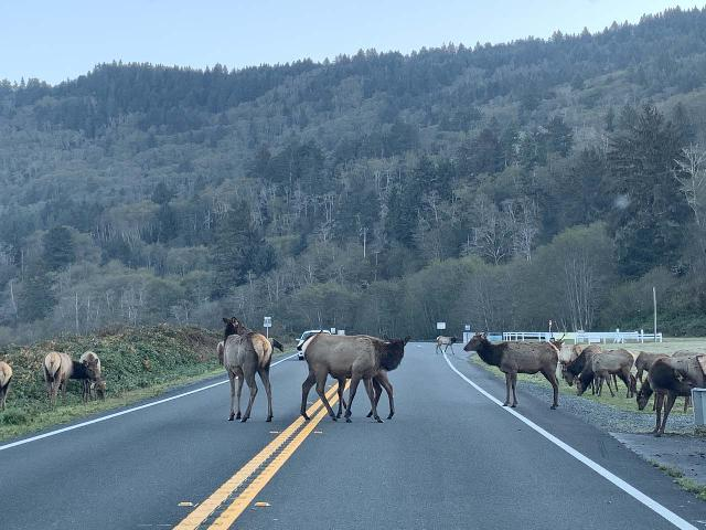 Drive_to_Golds_Bluff_Beach_014_iPhone_11212020 - Roosevelt Elk seemed to be prevalent this far north along the California coast.  Heck, this herd that was grazing just south of Orick managed to block traffic along the US101