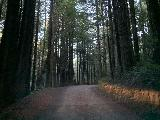 Drive_to_Golds_Bluff_Beach_025_iPhone_11212020 - Driving through a pretty thick grove of firs and redwoods along Davidson Road where not much sunlight makes it through the forest canopy