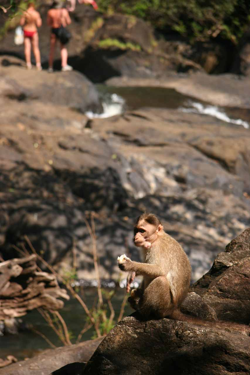 Fed monkey at the falls