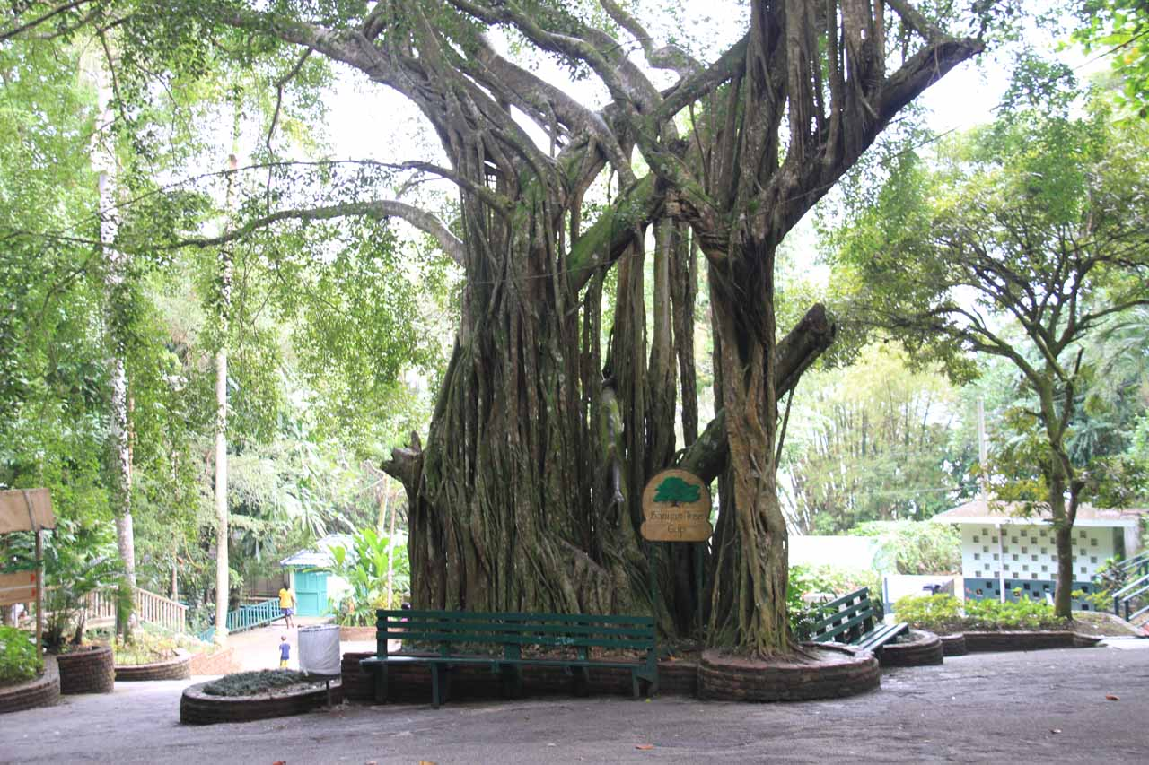 Banyan tree on the way down to the bottom of the falls