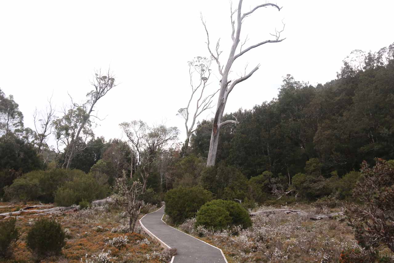 As I was going clockwise on the Enchanted Walk, the early part of the hike was in more open terrain flanked by ancient pencil pine trees and myrtle trees