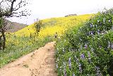 Escondido_Falls_069_04072019 - Still more beautiful wildflowers flanking the trail to Escondido Falls with yellow superbloomed hills in the background as seen in April 2019