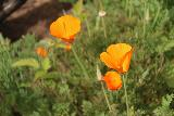 Escondido_Falls_090_04072019 - Checking out some of the California Poppies that were also blooming in Escondido Canyon during our April 2019 hike to Escondido Falls