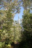 Evercreech_Falls_003_11232006 - Julie walking amongst the towering gum trees at Evercreech Reserve