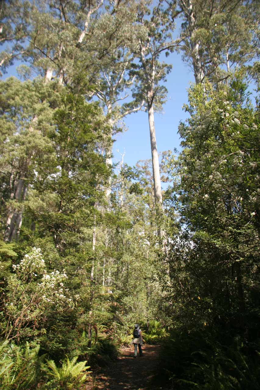 Julie walking amongst the towering gum trees at Evercreech Reserve