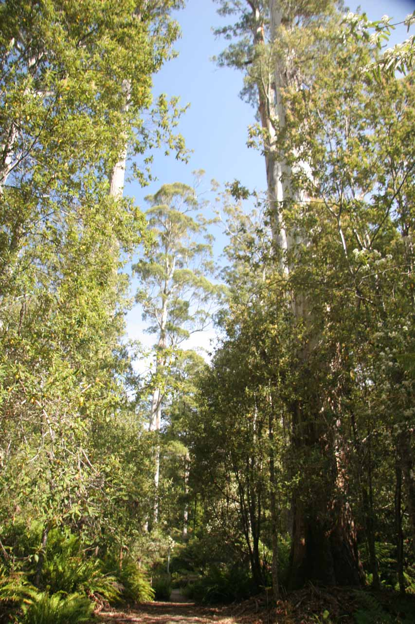 Walking amongst the towering gum trees at Evercreech Reserve
