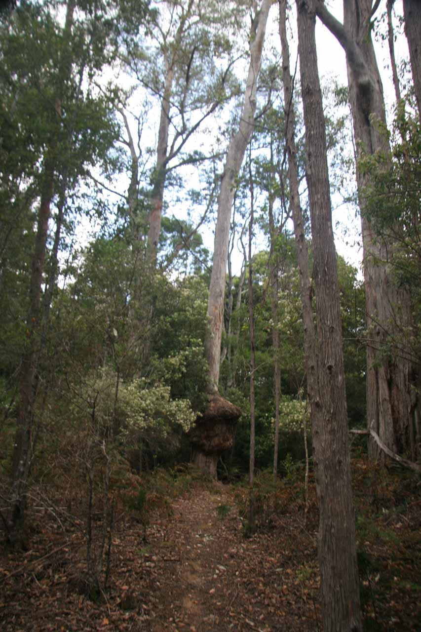 Some interesting bulbous formations at the base of some of these gum trees