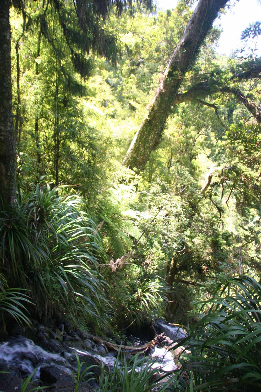 Looking across some of the Fairy Falls cascades towards a leaning kauri tree