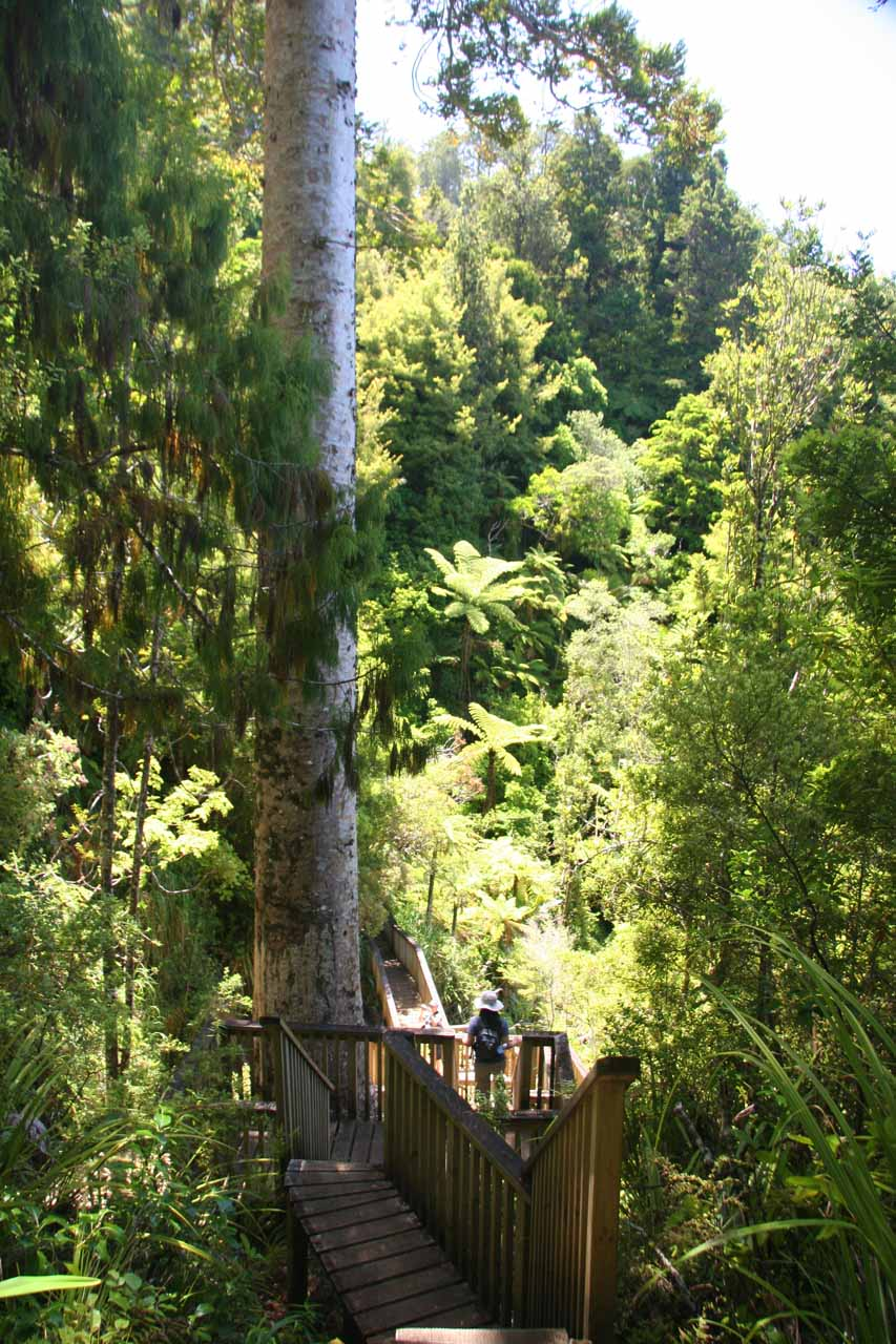 Julie dwarfed by another Kauri tree by Fairy Falls