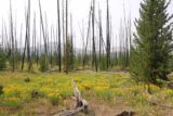 Fairy_Falls_Yellowstone_110_08112017 - Looking over some wildflowers towards some burnt trees that might have been from a fire more recent than the 1988 inferno. This was seen during my August 2017 hike