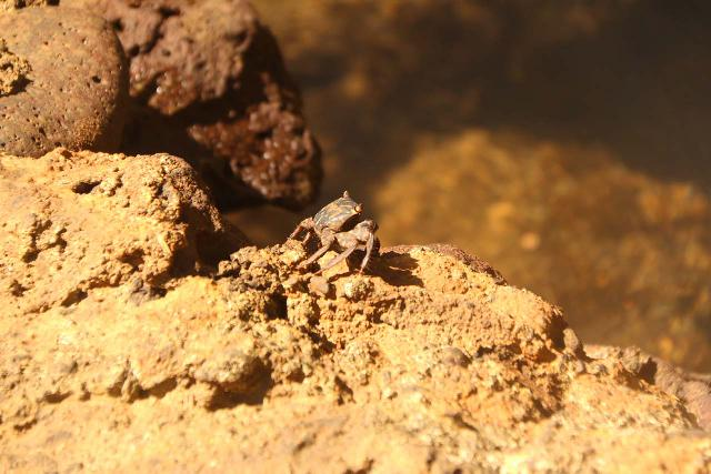 Falefa_Falls_060_11122019 - Closeup look at one of many of the crabs we spotted at the lookout for the Falefa Falls