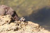 Falefa_Falls_063_11122019 - This was the only crab that we managed to get a decent photo of since they tended to disappear just before we got close to them