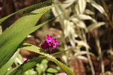 Falefa_Falls_072_11122019 - Another one of the flowers blooming by the path for the Falefa Falls