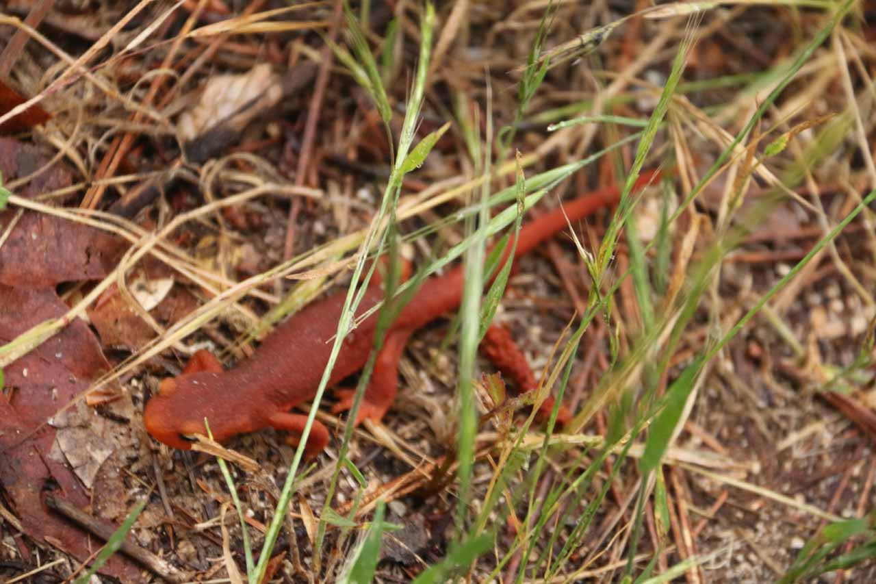 During the brief nearly half-mile detour to the top of Feather Falls, we encountered more of these red lizards or salamanders or something