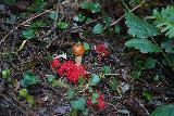 Fern_Canyon_Gold_Dust_Falls_084_11212020 - Checking out some interesting mushrooms growing by the James Irvine Trail