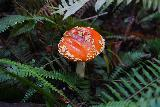 Fern_Canyon_Gold_Dust_Falls_097_11212020 - This was one of the bigger and more colorful mushrooms that we saw growing alongside the James Irvine Trail