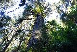 Fern_Canyon_Gold_Dust_Falls_107_11212020 - Looking up towards the top of one of the majestic redwood trees seen along the James Irvine Trail