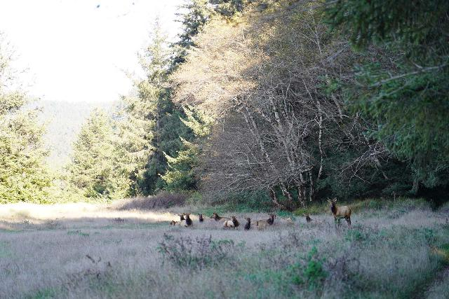Fern_Canyon_Gold_Dust_Falls_249_11212020 - This was the herd of Roosevelt Elk that grazed right beside the Davidson Trail near the first of the Gold Bluffs Beach Waterfalls