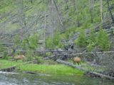 Firehole_Drive_001_06182004 - Some elk grazing by the Firehole River