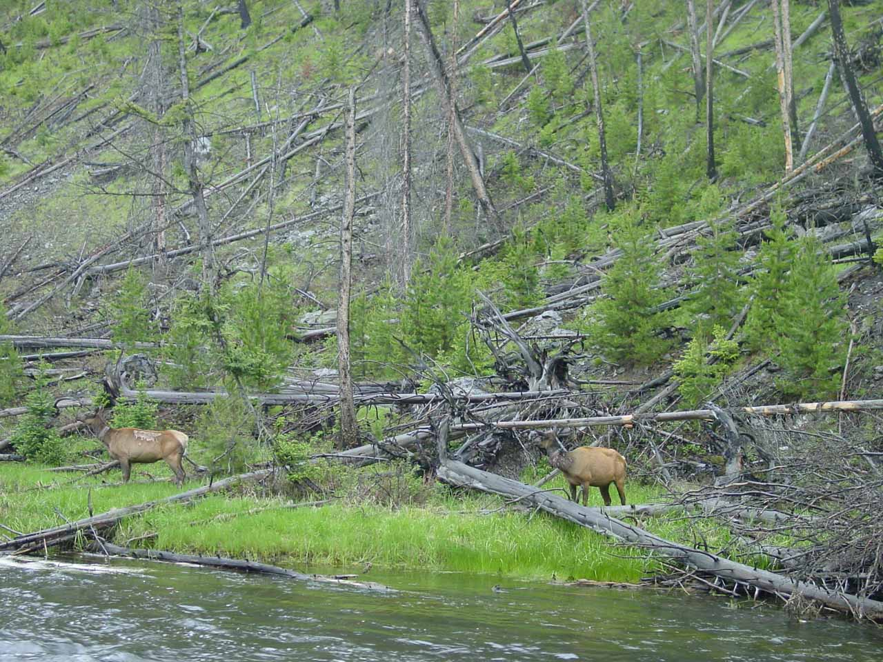 Some elk grazing by the Firehole River