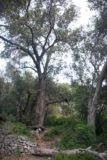 Fish_Canyon_Falls_013_03272010 - Oak trees by former cabin site