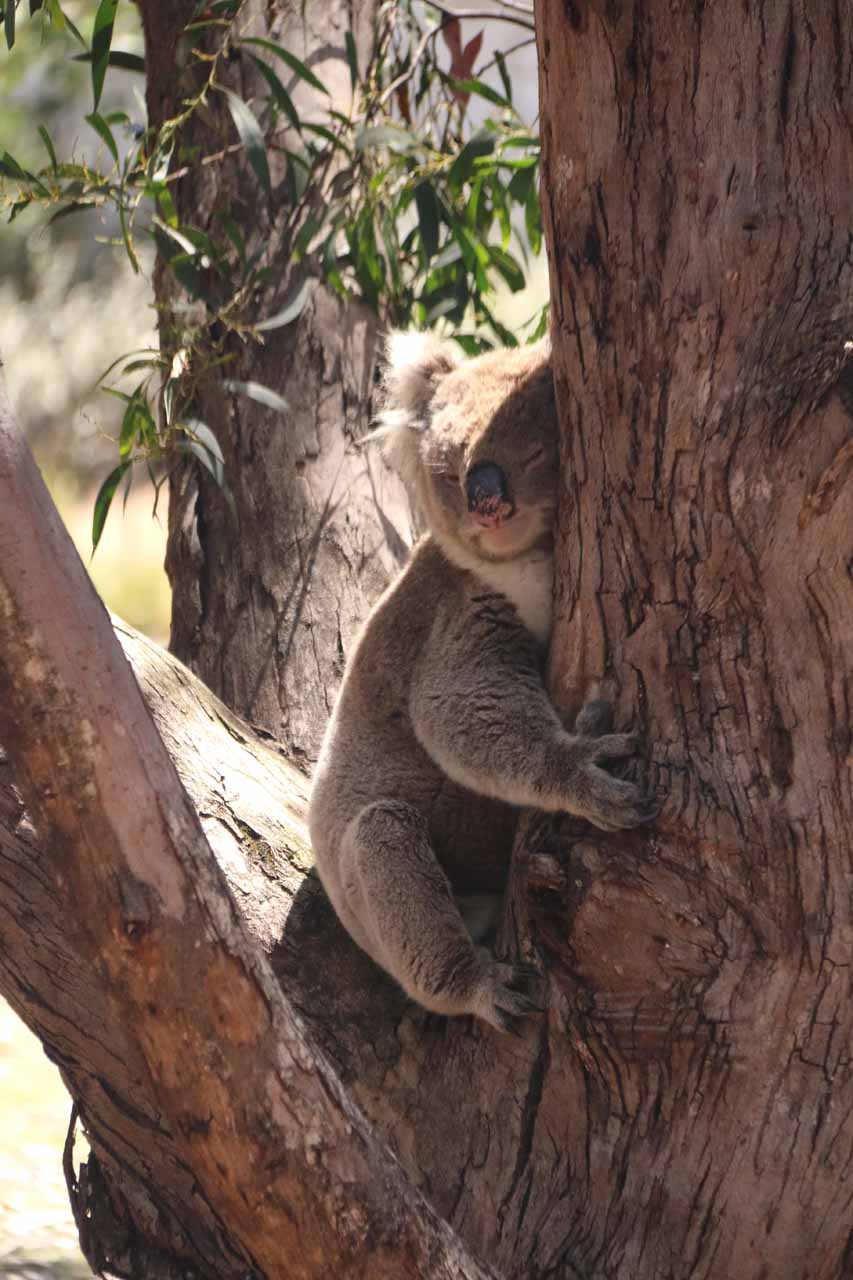 One of our most satisfying koala sightings actually took place at the Flinders Chase Visitor Centre on the western end of Kangaroo Island