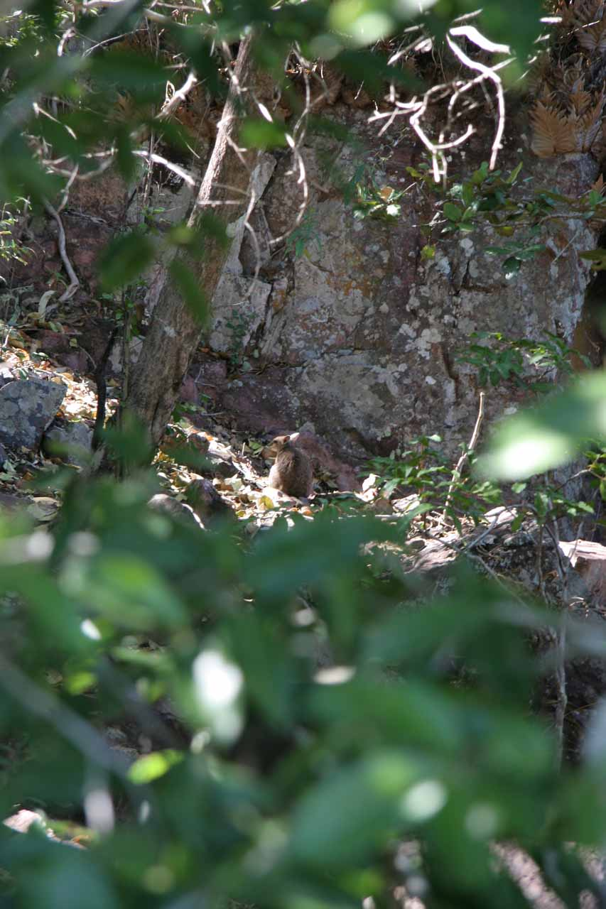 Partial view of the rock wallabie we noticed while traversing the steps to get to the base of Florence Falls