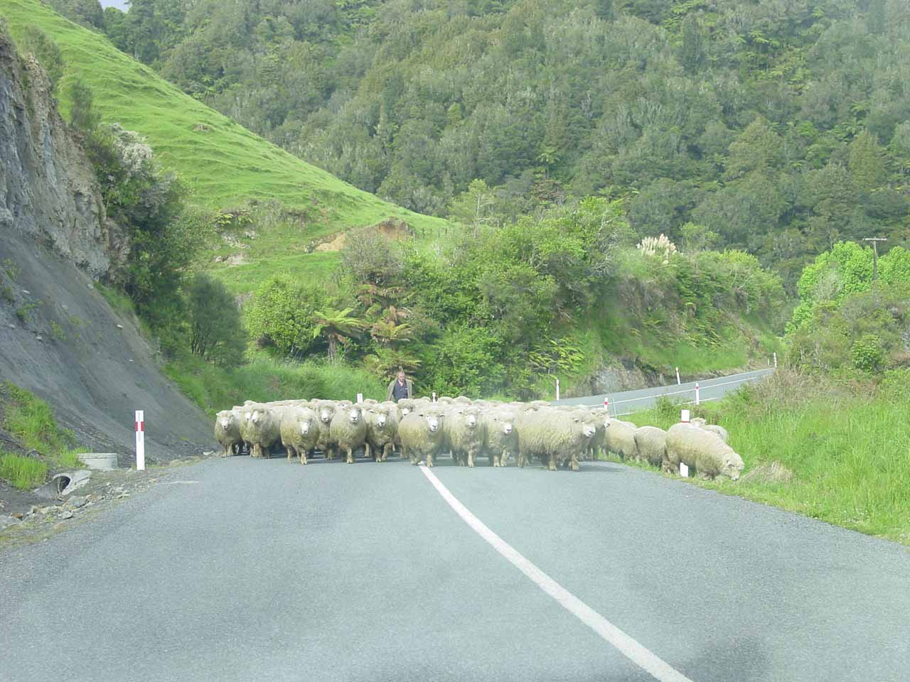 Sheep crossing on the Forgotten World Highway