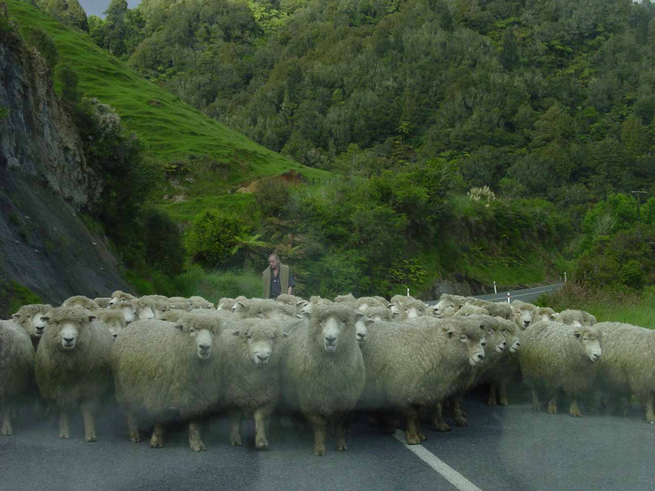 The sheep moved closer to us as we let them go by
