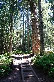 Franklin_Falls_118_06202021 - Still hiking among impressively tall trees along the Franklin Falls Trail