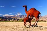 Galleta_Meadows_125_02092019 - Checking out camels at Galleta Meadows
