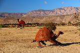 Galleta_Meadows_137_02092019 - A tortoise and camels at Galleta Meadows