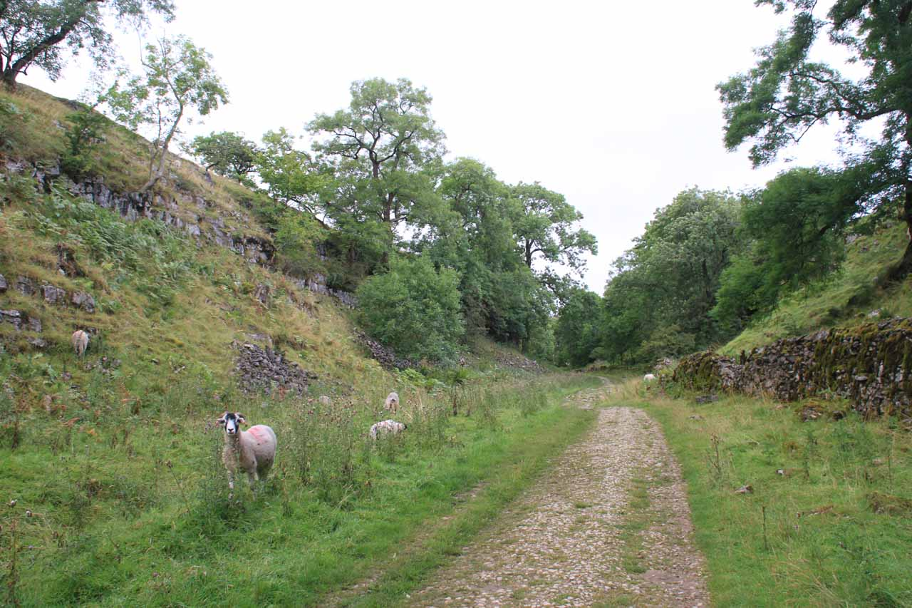Beyond the Ingleborough Cave, the trail continued through sheep pastures so I had to share the trail with them as they were wary of me