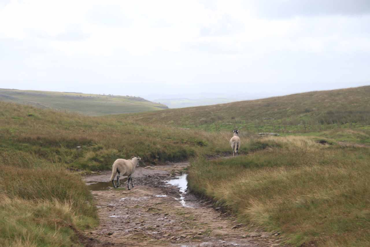 Sharing the moors with some sheep while hiking back to Clapham