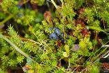 Gerduberg_032_08182021 - Closer look at the wild berries growing by the scrambling trail around the Gerduberg Cliffs
