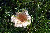 Gjain_225_08202021 - Noticing this big mushroom on the way back from Gjain towards the car park closer to Stong