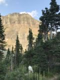 Glacier_NP_17_014_iPhone_08052017 - Another look at the mountain goat grazing with mountains and trees surrounding it