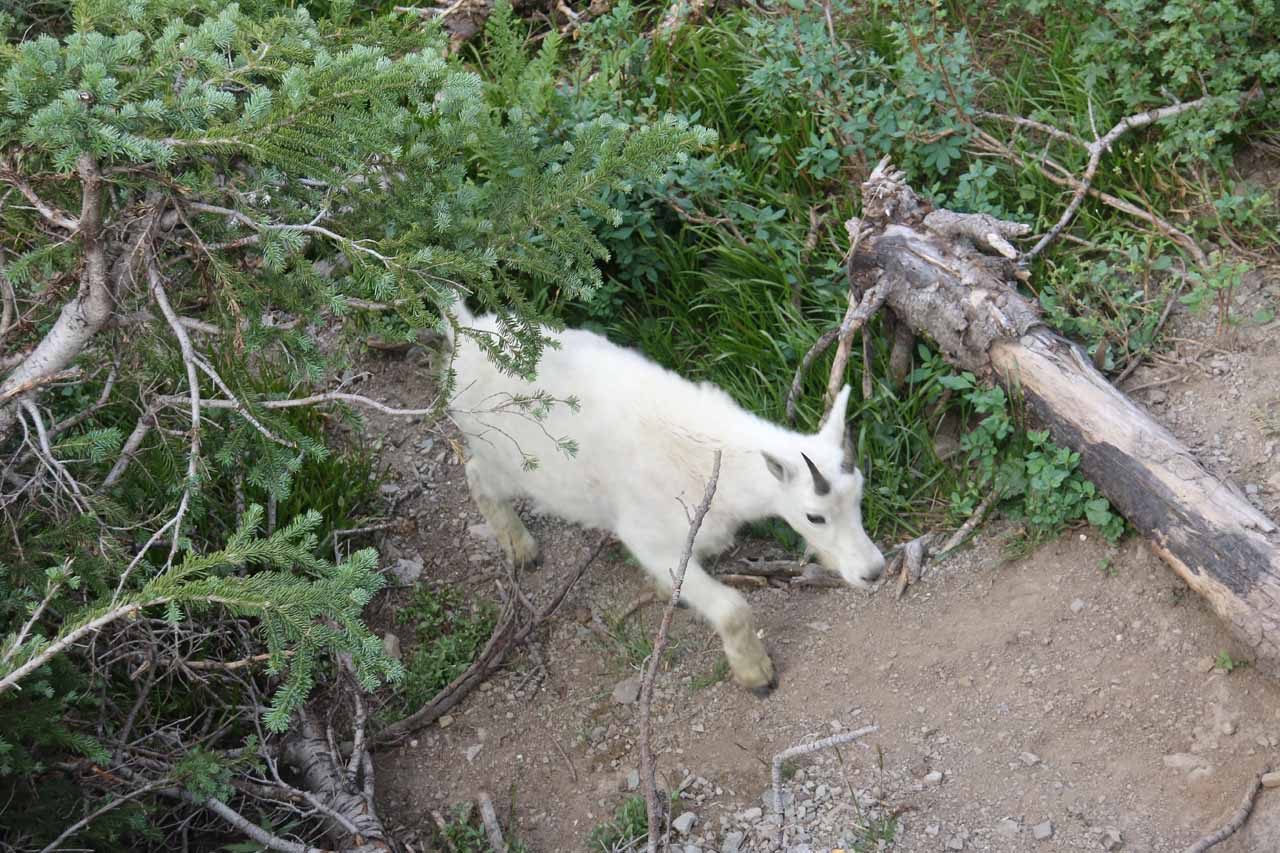 Near that overlook west of Logan Pass at Oberlin Bend, I also managed to spot this mountain goat by the boardwalk