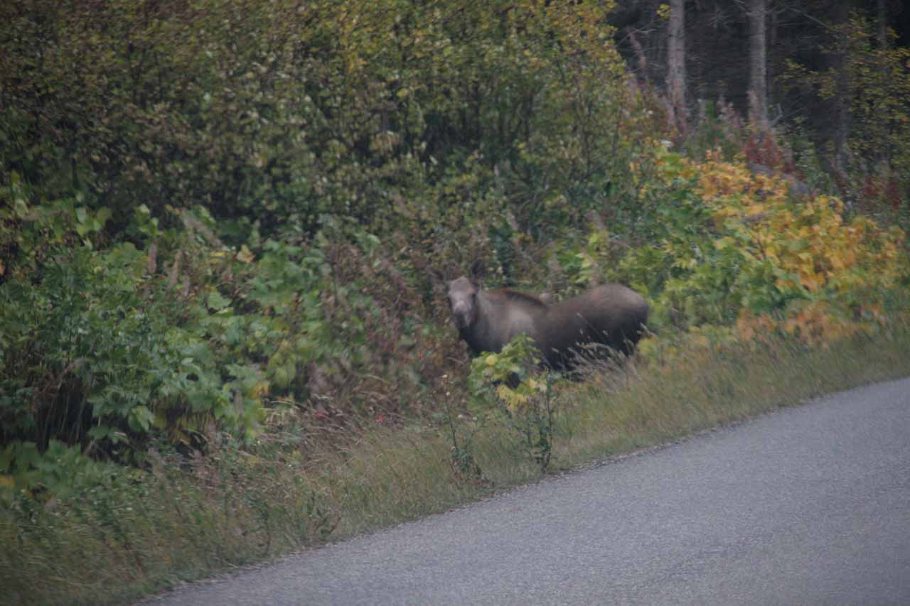 Moose about to leave the road